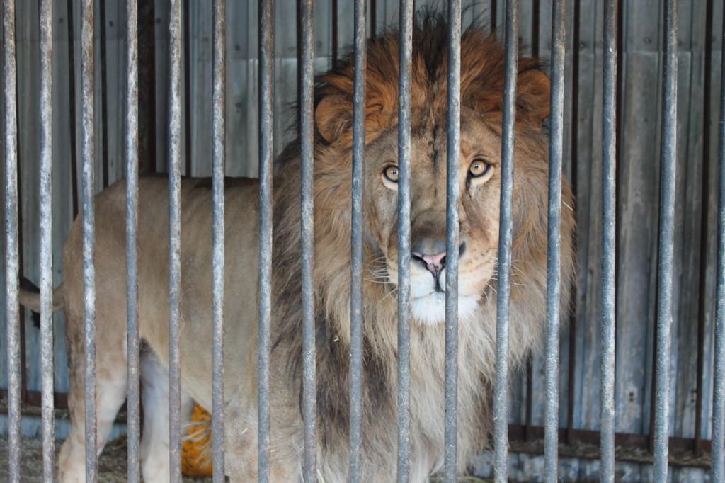 2_lion