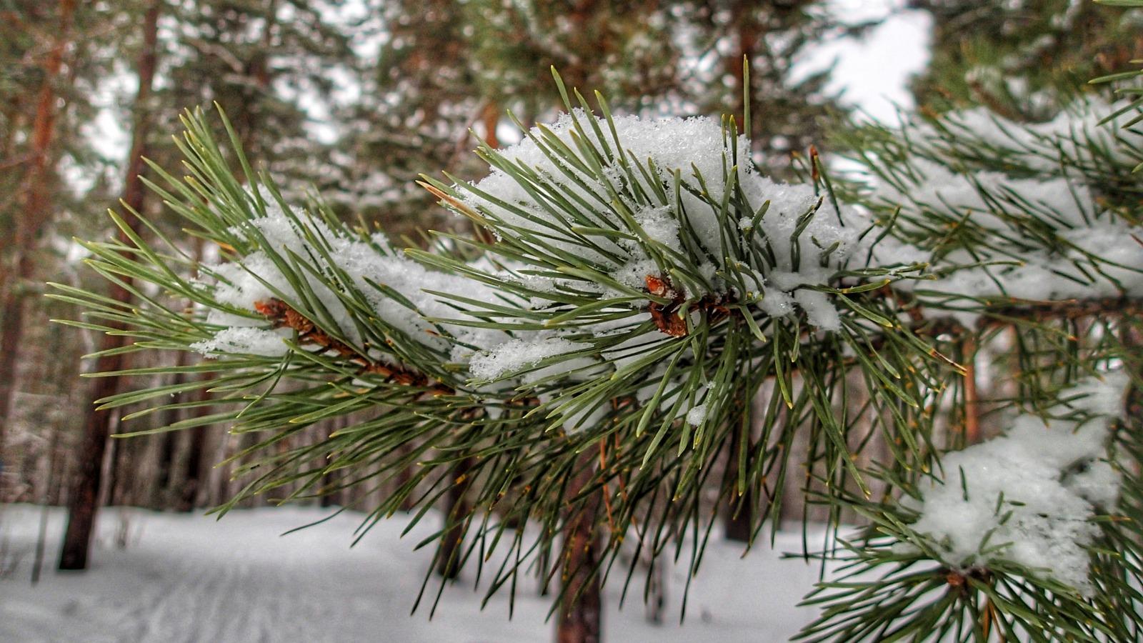 sosna-zima-sneg